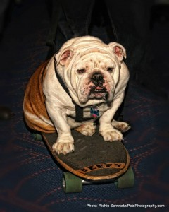 Beefy the Bulldog Pet Photographer RichieSchwartz