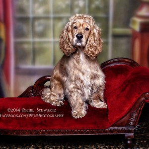 Richie Schwartz Pet Photographer Cocker Spaniel on Couch